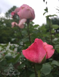 When the start to in the again it is like meeting an old Roses, Bloom, Garden, Flowers, Plants, Garten, Pink, Rose, Lawn And Garden