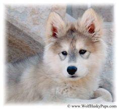 Wolf Husky Pup Wolf Husky, Husky Puppy, Pets, Animales, Husky Pups, Puppy Husky, Animals And Pets