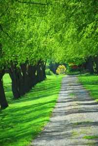 American Elm Tree - Elm Tree Family - Willis Orchard Company