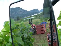 Another beautiful Harvest 2013 picture! David managed to capture this shot from the cab of the tractor looking in the side mirror. To see all the vineyard activity come visit us at the winery. We are open every day until mid October from 11am - 5pm. Hope to see you soon! Blue Mountain, Tractor, Harvest, Vineyard, Shots, That Look, October, David, Activities