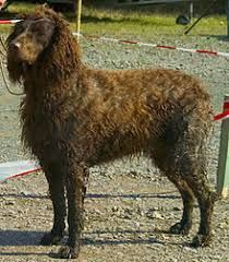 all dog facts research findings and behaviors of all breeds: PONT AUDEMER SPANIEL
