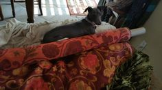 Not impressed with Mom's decorator fabric invading her couch spot