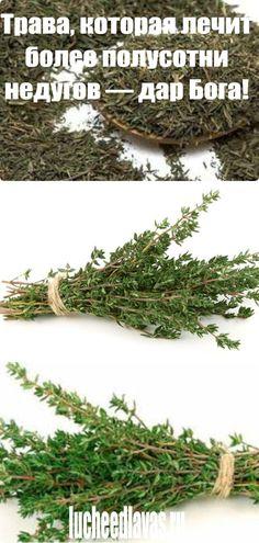 Трава, которая лечит более полусотни недугов — дар Бога! Herbal Medicine, Aloe Vera, Herbalism, Health Fitness, Home Remedies, Health, Tips, Health And Wellness, Medicinal Plants