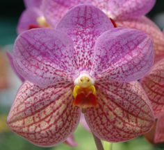"""20th Australian Orchid Council Conference and Show """"Orchids in Paradise"""" Ascda. Clyde Mackay Photo by Rod Shoesmith"""