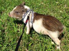 Mini Pig Harness Training by This Little Pet Shop - Little Pet Shop, Little Pets, Miniature Pigs, Mini Pig, Kangaroo, Goats, American, Cute, Training