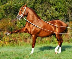 Pura Raza Española stallion Diego. Another photo of this magnificent horse. Chestnut coats and lots of chrome are extremely uncommon in the breed.