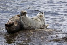 The Saimaa ringed seal (Pusa hispida saimensis) is a subspecies of ringed seal (Pusa hispida). They are among the most endangered seals in the world, having a total population of only about Polar Bear, The Great Outdoors, Finland, Mammals, National Parks, Seals, Swimmers, Beautiful, Seal