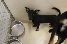 07/03/16- ODESSA, TX - URGENT -Speaking Up For Those Who Can't · June 21 ·  Abby is a female Min Pin mix less than a year old  Kennel A11 $51 to adopt  ADOPT/RESCUE/FOSTER   Located at Odessa, Texas Animal Control. Must have a valid Drivers License and utility bill with matching address to adopt. They accept Credit Cards, cash or checks. We ARE NOT the pound. We are volunteers who network these animals to try and find them homes. Please send us a PM if we can answer any questions for you.