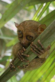 Habitante das florestas da Indonésia, de Brunei e da Malásia, o lêmure tarsier tem hábitos noturnos e só come insetos e pequenos morcegos: http://abr.io/4fYC
