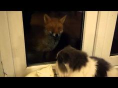 Are foxes a threat to cats? Great article by leading cat behaviourist Anita Kelsey. Talking to wildlife experts, cat owners and vets. Foxes and cats debate. Wild Ones, Cat Gif, Foxes, Corgi, Wildlife, Cats, Animals, Corgis, Gatos