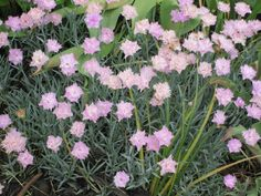 Dianthus looks delicate but can sustain drought.