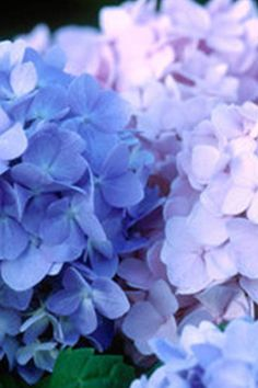 The Original was the first in the Endless Summer collection of hydrangeas to be developed. The Original Endless Summer is a perpetual flowering big-leaf Hydrangea Butterfly Plants, Butterfly Bush, Hydrangea Bloom, Hydrangeas, Easy To Grow Houseplants, Endless Summer Hydrangea, Hydrangea Macrophylla, Big Leaves, Perfect Plants