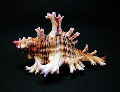 Sea Shell 168