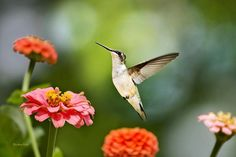 Easy steps to keep your hummingbird feeders insect free. Do you have a problem with ants and other insects getting into your hummingbird feeder? Would you like a few tips on how to keep them away s…