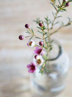 Waxflower – das neue Schleierkraut