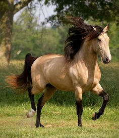 Oh what a beautiful buckskin!! My favorite horses are appaloosa, paint, and pinto, in that order, but I love any beautiful horse, no matter what color they are, and a buckskin, palomino, bay and roan are very high on my list also! If I were 'Bill Gates' rich, I'd just have to have a 50,000 acre + ranch, because my horse herd would be astoundingly large! ❤