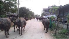 Wasserbüffel beim Kacken [Thailand, near Khon Kaen]