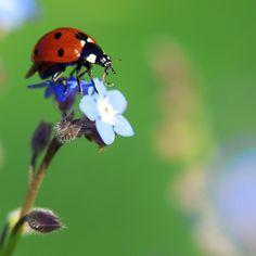 Ladybug Blues! | Flickr - Photo Sharing!