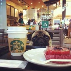 pug + starbucks = love