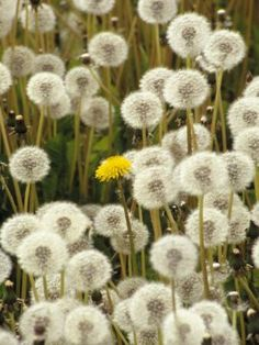 Field of Dandelion, Sitka, AK Photographic Print by Ernest Manewal at Art.com