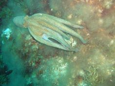 Octopus pulpo mallorca