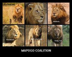 Mapogo Coalition (Sabi Sands) [mandevu lion - Google Search]