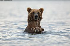 """Everybody learns from somebody, and that first """"somebody"""" is usually our parents. Check out these adorable pictures showing how mother bears teach their cubs all about the """"bear"""" necessities of life, like catching fish, takings baths, scaling trees, crossing rivers, rock climbing, and swimming."""