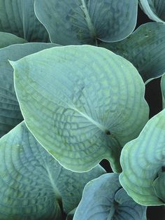 Hosta  Mature size: 3 feet tall and 4 feet wide. Ideal growing conditions: part sun to full shade, moist, well-drained soil.