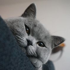 Moes and Mattie, British shorthair cats from Rotterdam Grey Cats, Blue Cats, Beautiful Cats, Animals Beautiful, Animals And Pets, Cute Animals, British Short Hair, Russian Blue, Mundo Animal
