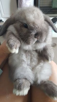 Holland Lop Rabbits For Sale | St. Augustine, FL #275102