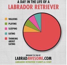 A day in the life of a Labrador Retriever.
