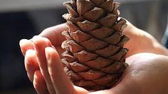 CEDAR OIL - YouTube Cedar Oil, Home Garden Plants, Planting Seeds, Bulbs, Pine, Magic, Cold, Youtube, Cedarwood Oil