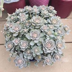 Shop online for all your Cactus and Succulent must haves. Cacti And Succulents, Planting Succulents, Cactus Plants, Garden Plants, House Plants, Planting Flowers, Cool Plants, Air Plants, Indoor Plants