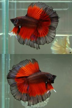 Types of Betta Fish - There are lots of different types of betta fish and this article covers them in detail including breeds, patterns, colors, tail differentiation and more. Betta Aquarium, Freshwater Aquarium Fish, Pretty Fish, Beautiful Fish, Animals Beautiful, Beautiful Pictures, Betta Fish Types, Betta Fish Care, Guppy