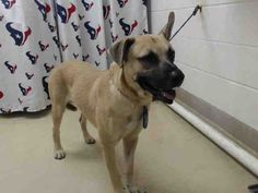 This DOG - ID#A467495 - URGENT - Harris County Animal Shelter in Houston, Texas - ADOPT OR FOSTER - Male German Shepherd - at the shelter since Sep 03, 2016.