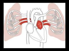 Heart Blood Flow Animation