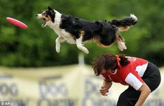 A border collie jumps to catch a frisbee during the Skyhoundz Disc Dog European Championship competition