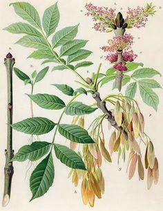 Native Irish Ash tree ... Fraxinus excelsior ... Fhuinseog
