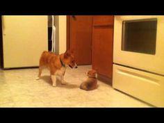 Dexter taunts little sister Violet. http://thedailycorgi.blogspot.com/2011/06/dexter-and-violet-yessir-shes-my-baby.html #pembroke #welsh #corgi #puppy #video