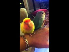 my Lovebirds singing - YouTube