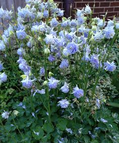 May Dreams Gardens: Today's plant obsession - Aquilegia blue tower