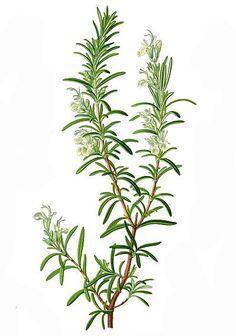 Rosmarin (Rosmarinus officinalis) розмарин символ памяти
