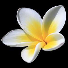 Frangipanni Flower by teejaybee, via Flickr