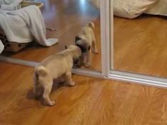 Hilarious Puppy Sees Reflection For The First Time, Proceeds To Play With Himself - BarkPost