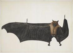 File:Great Indian Fruit Bat MET DP167067.jpg - Wikipedia