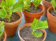 Hortensia er en af de nemmeste planter at skære, dvs. Plant Design, Garden Design, Vegetable Garden, Garden Plants, Gardening Vegetables, Balcony Garden, Organic Gardening, Gardening Tips, Garden Online