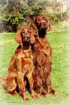 Irish setter Puppy Dog Photography Puppies Doggie Pup