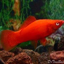 Buy Red Swordtail In India Buy Aquarium Fish In India Aquarium