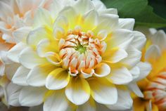 Just bougt 2 of this stunningly brilliant Dahlia 'Seattle' a large-flowering Dahlia or 'Dinner Plate Dahlia' at.reduced price