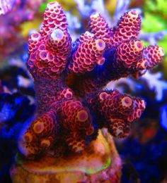 raspberry lemonade Millepora